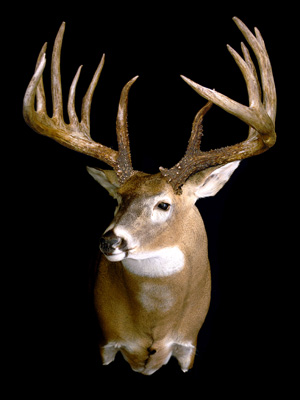 King Buck Qa Deer Deer Hunting Whitetail Deer Hunting Tips