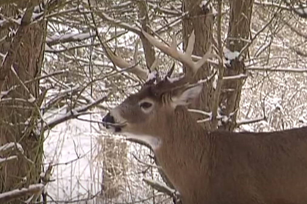 Understanding The Metabolism Of The Wintering Whitetail