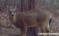 Bizarre Case of Deer with Bulging Eyes