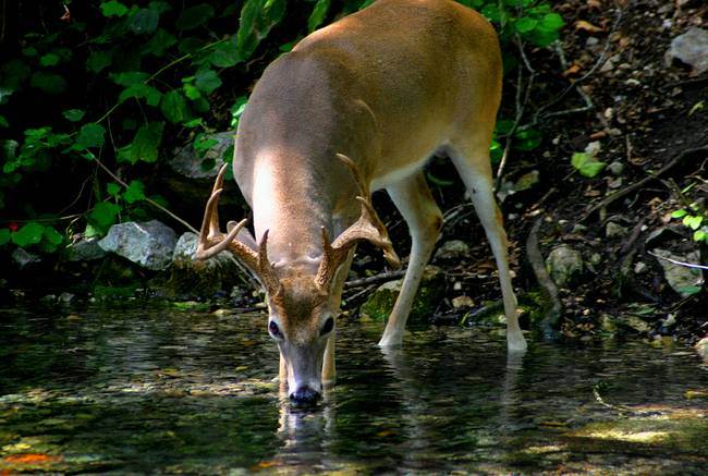 Image result for deer drinking water
