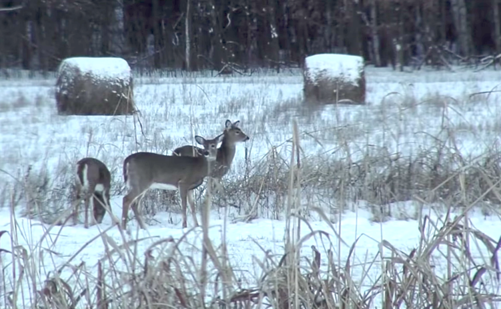 This Is Such Brutal Winter Cant We >> How Whitetails Weather The Brutal Winter Condtions