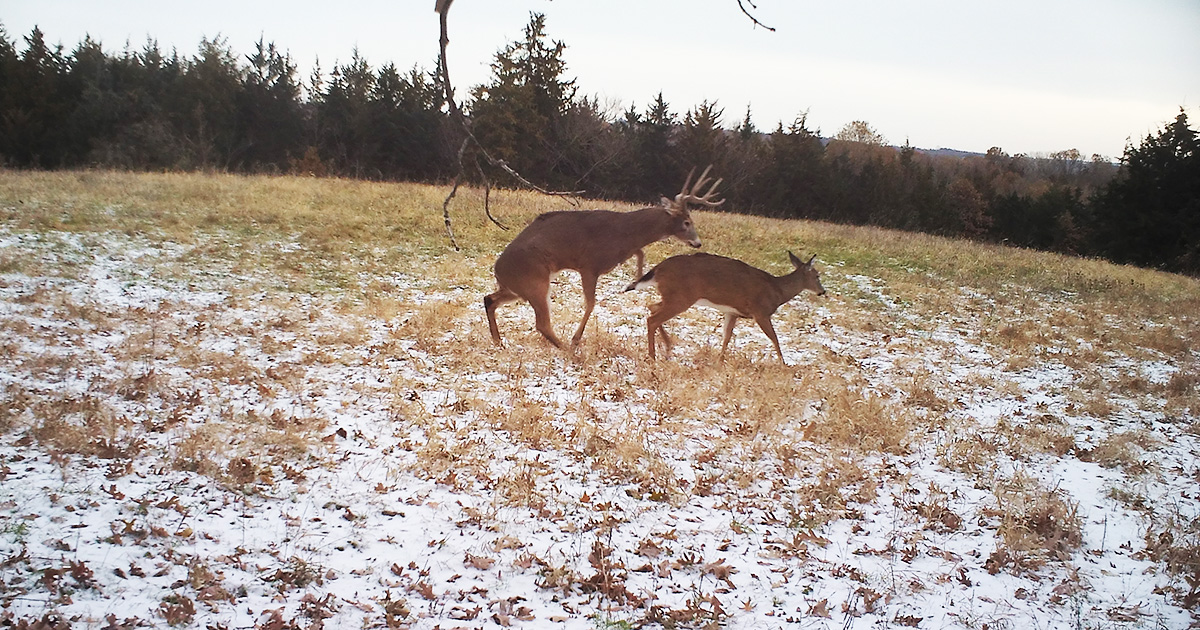 Deer Breeding Phases