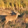 Deer Habitat: Browse Levels and Doe Harvest