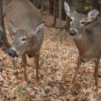 Deer Hunting Discussion: Doe Harvest Numbers