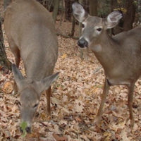 Deer Management: The Balancing Act of Buck and Doe Harvests