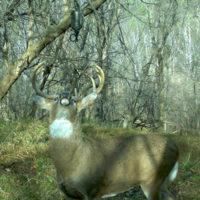 deer scent strategies