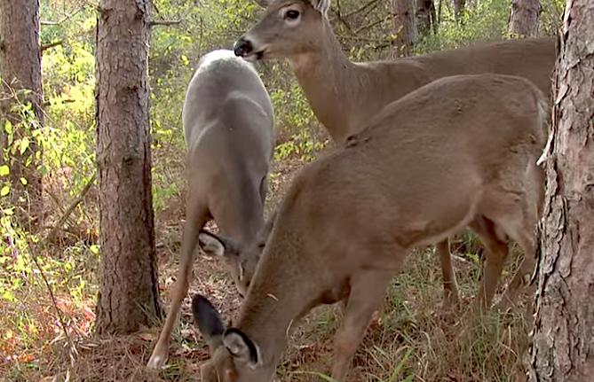 How long do deer licks last