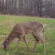 Determining Doe Harvesting for Better Habitats