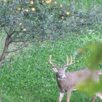 Fruit Tree Basics: Choose the Best for Deer Hunting