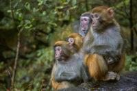 CWD Monkeys Fed Cannibal Diet: Researcher