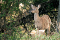 Oldest Wild Deer Confirmed in Vermont