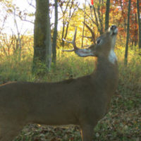 How to ID Individual Buck Scrapes