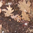 Identify the Best Oak Trees on Public Hunting Land