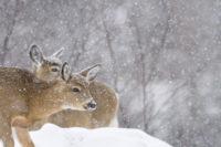 Winter Might Wipe Out 40% of Region's Deer Herd