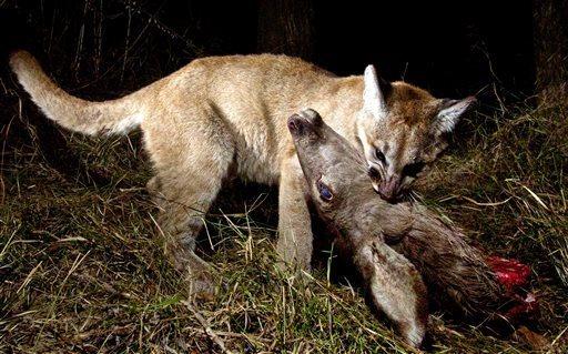Mountain Lion Cubs Devouring a Deer -