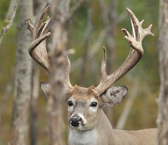 The Facts on Antler Restrictions and Deer Hunting -