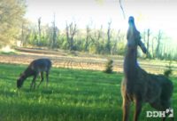 Deer Urine Bans Do Nothing to Slow CWD: Prion Researcher