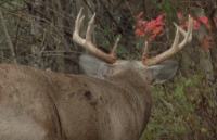This Whitetail Behavior is Most Puzzling | Whitetail Wisdom
