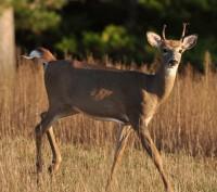 Culling Bucks to Improve Antler Genetics: Fact or Fiction?