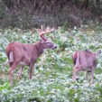The Best Thing to Plant in Deer Food Plots
