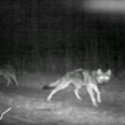The Wolf's Place in Wildlife Management