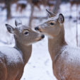 This is a Critical Period for Deer Nutrition
