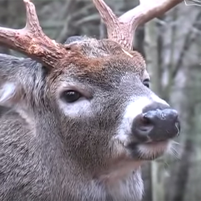 Whitetail Deer Vocalization
