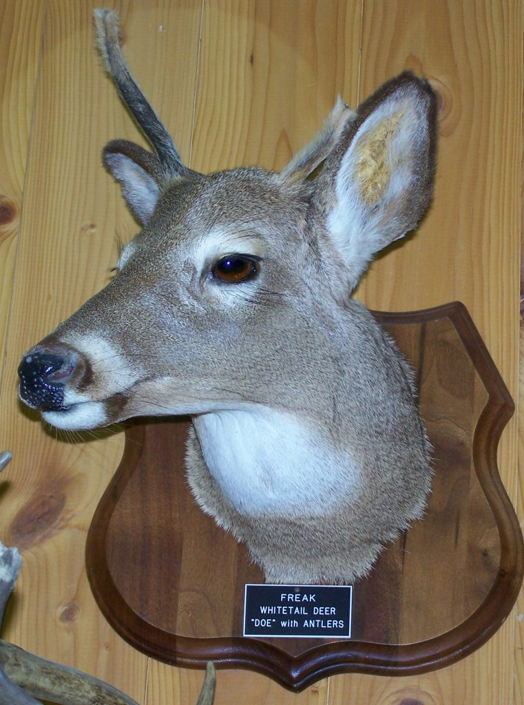 A true antlered doe will exhibit this kind of antler growth. The condition is extremely rare. Most reports of antlered does are more likely cases of hermaphrodism. Photo courtesy of Larry's Taxidermy of Ogdensburg, NY.