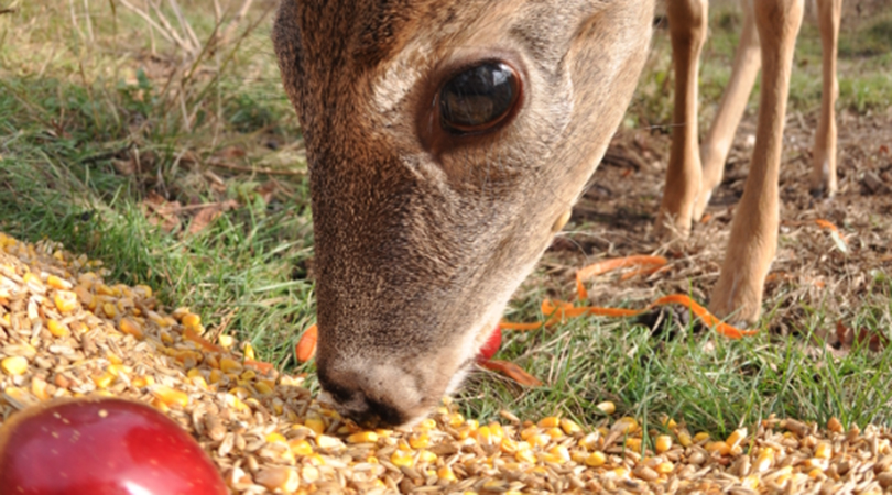 deer baiting and feeding
