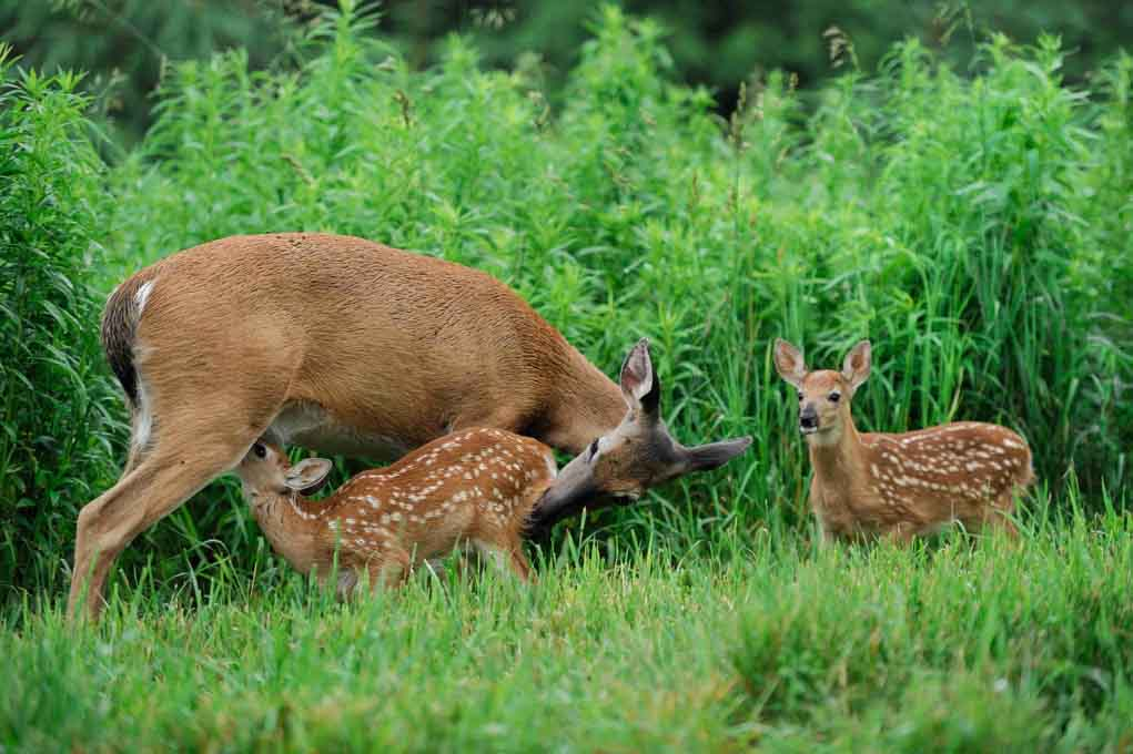 Summer Of Growth And Learning For Deer Fawns