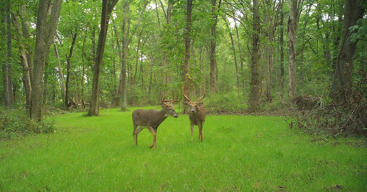 dominant buck