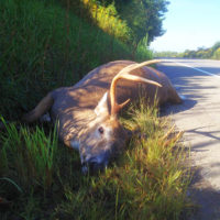 A sad sight to deer hunters is a nice buck dead along the road, especially just before hunting season. Even sadder is the fact that every deer seen lying along the road represents a serious cost in property damage and the possibility of a lost human life. (Steve Sorensen photo)