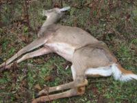 Mysterious Deer Deaths Solved in Pennsylvania
