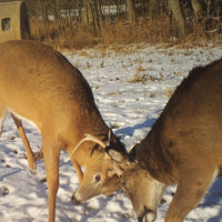 The Dos and Don'ts of Feeding Deer Over Winter