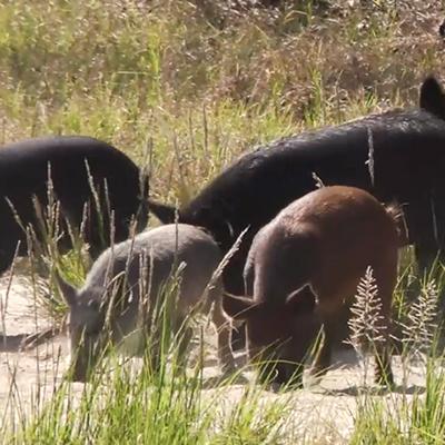 hogs and hog hunting